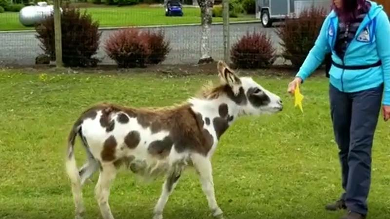 Mini Donkey Training - Name Target and Tactile Exam Practice